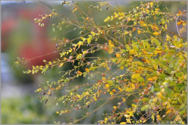 萩だって紅葉♪