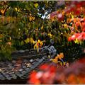 写真: 柿の秋