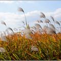 写真: 草葉もみじ