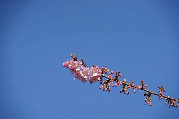 写真: 江之島春來乍到