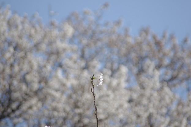 Photos: 佛隆寺の桜