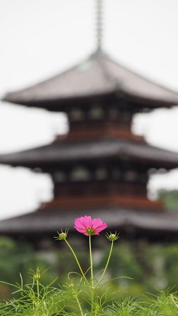 斑鳩 コスモス 2017初秋