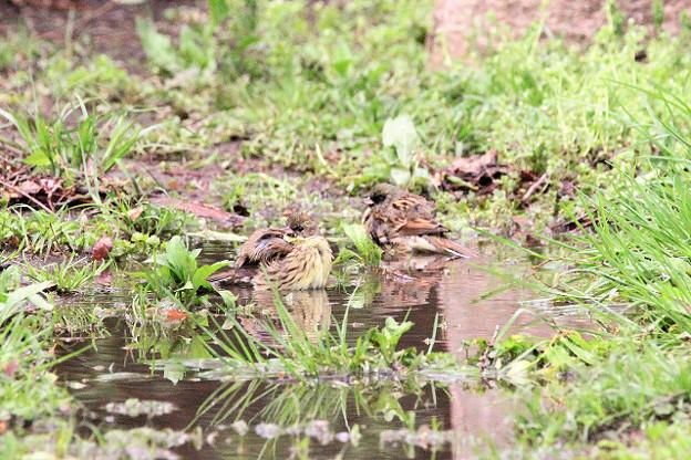Photos: 仲良く水浴び