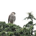 樹上のオオタカ