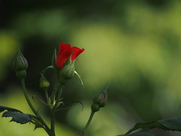 写真: バラの花を撮りました