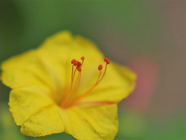 写真: 四時の花