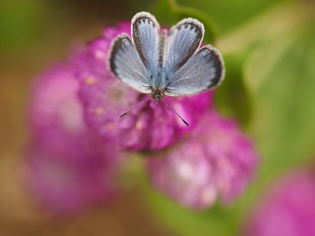 写真: 蝶リボン