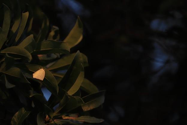 写真: 冬陽 ウラギンを染める