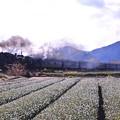 大井川鐵道SLフェスタの目玉。。SL重連走行 茶畑を快走
