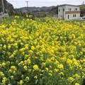Photos: 撮って出し。。いすみ鉄道沿線は菜の花満開でした(^^)4月10日
