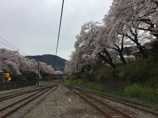 撮って出し。。神奈川県山北町の御殿場線桜並木 4月10日