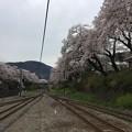 Photos: 撮って出し。。神奈川県山北町の御殿場線桜並木 4月10日