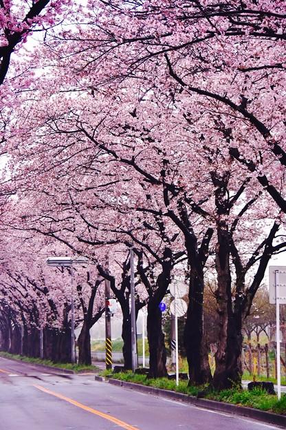 撮って出し。。雨降り横浜地元の海軍道路 満開 4月8日