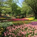 写真: 撮って出し。。昭和記念公園渓流チューリップ畑 4月23日