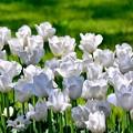 撮って出し。。昭和記念公園満開見頃の白チューリップ。。4月23日