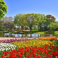 青空の昭和記念公園 渓流チューリップ。。20170423