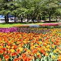 写真: 天気の良い日の昭和記念公園チューリップ。。 20170423