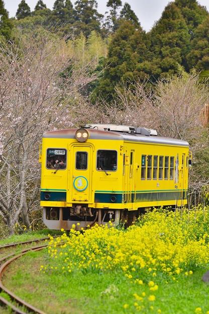 黄色い菜の花と黄色い列車。。いすみ鉄道 20170410