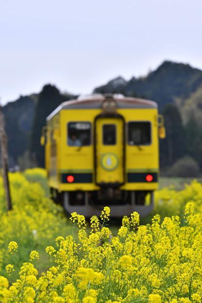 菜の花畑を抜けて。。いすみ鉄道20170410