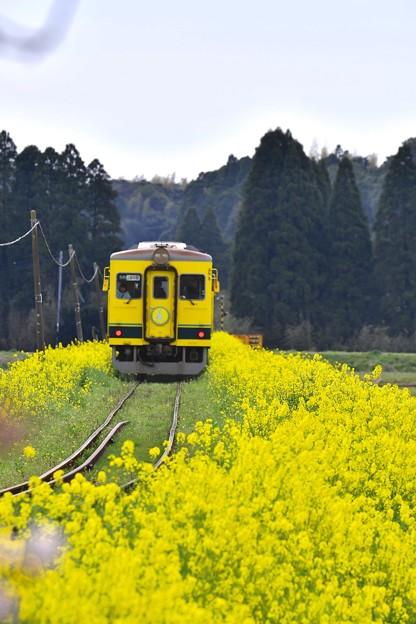 菜の花に囲まれて走る黄色い列車いすみ鉄道 20170410