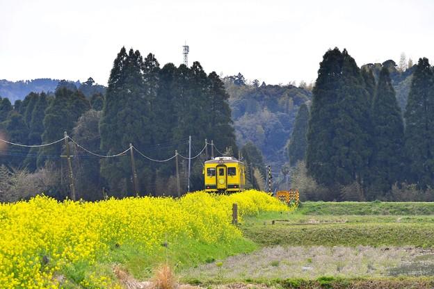 まるで菜の花の川をゆっくりと。。いすみ鉄道 20170410