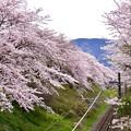 夕方の山北の桜並木。。20170410