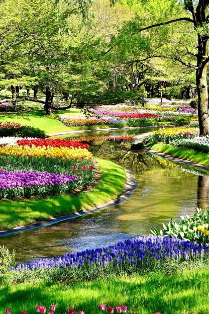 渓流を思わせる昭和記念公園のチューリップ畑 20170423