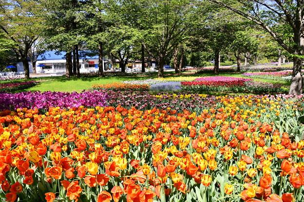 綺麗に咲いたチューリップ 。。昭和記念公園 20170423