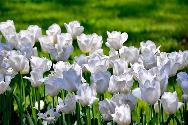 天気のいい日に白いチューリップ 昭和記念公園 20170423