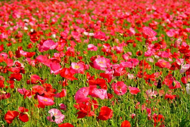 5月満開のくりはま花の国のポピー畑 20170520