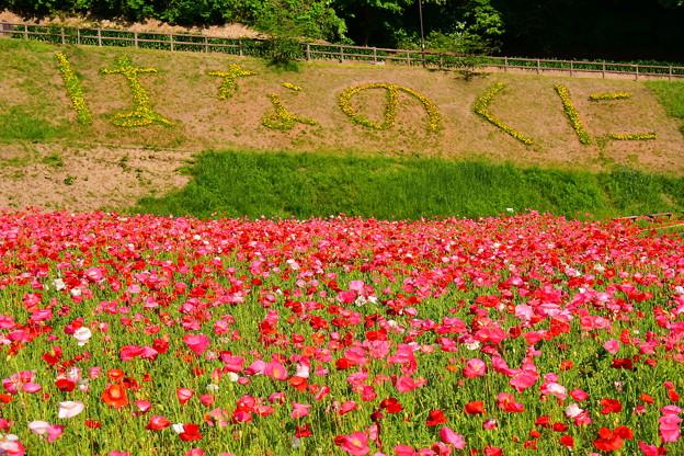 真っ赤な花を咲かせたポピー。。くりはま花の国 20170520