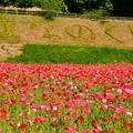 Photos: 真っ赤な花を咲かせたポピー。。くりはま花の国 20170520