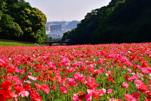 くりはま花の国。。久里浜の町を見下ろすポピー畑 20170520