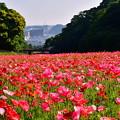 Photos: くりはま花の国。。久里浜の町を見下ろすポピー畑 20170520