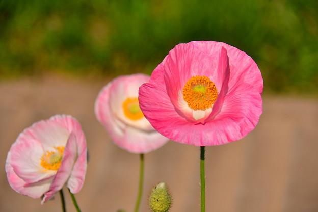 透き通るポピー。。くりはま花の国 20170520