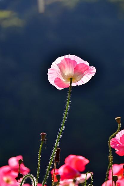 朝日を浴びて透ける花びら。。ポピー 20170520