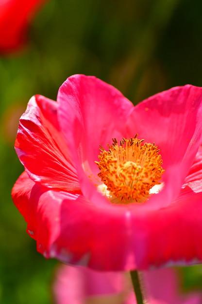 朝のくりはま花の国で。。ポピーの花 20170520