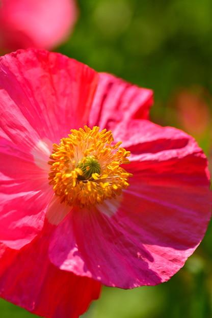 ポピーの雄しべ雌しべ。。朝のくりはま花の国 20170520
