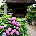 撮って出し。。梅雨の夕暮の極楽寺 紫陽花 6月25日