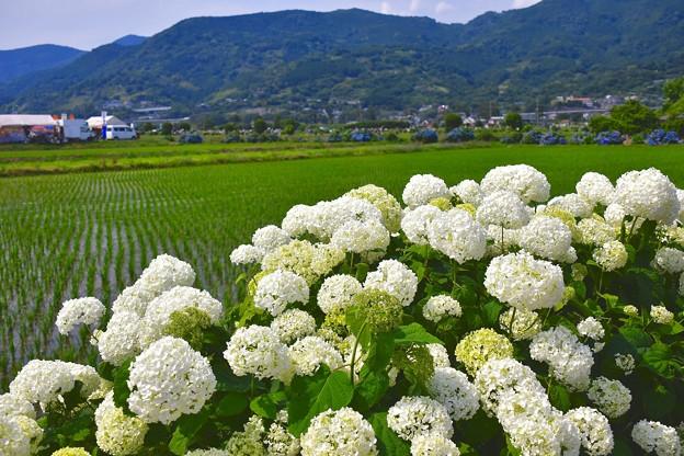 開成町の田んぼと白い紫陽花アナベル。。(^^)20170610
