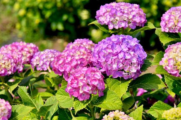 ピンク系の紫陽花も綺麗に咲いて開成町あじさい祭り 20170610