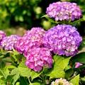 Photos: ピンク系の紫陽花も綺麗に咲いて開成町あじさい祭り 20170610