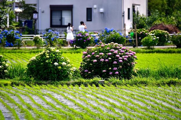 田んぼ沿いに咲く紫陽花。。デート(^^) 20170610