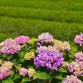 Photos: 開成町の茶畑と紫陽花。。(^^) 20170610