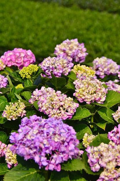 茶畑の緑と紫陽花の彩り。。(^^)20170610