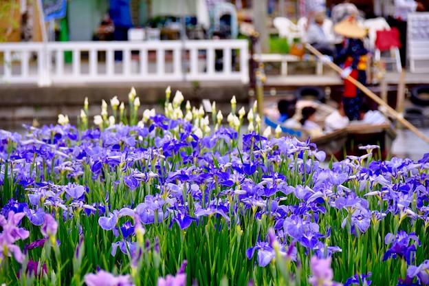 開園してから渡瀬舟乗って花菖蒲を楽しむ 20170611