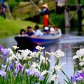 写真: 水辺も賑わい渡瀬舟と花菖蒲。。20170611