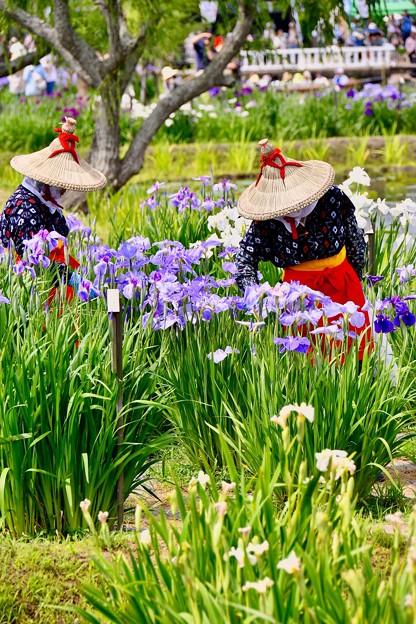 花菖蒲娘さん達花の手入れ。。20170611