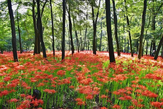 撮って出し。。晴れれば太陽の光と曼珠沙華の赤、木々の緑映える 9月18日