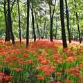 写真: 撮って出し。。晴れれば太陽の光と曼珠沙華の赤、木々の緑映える 9月18日